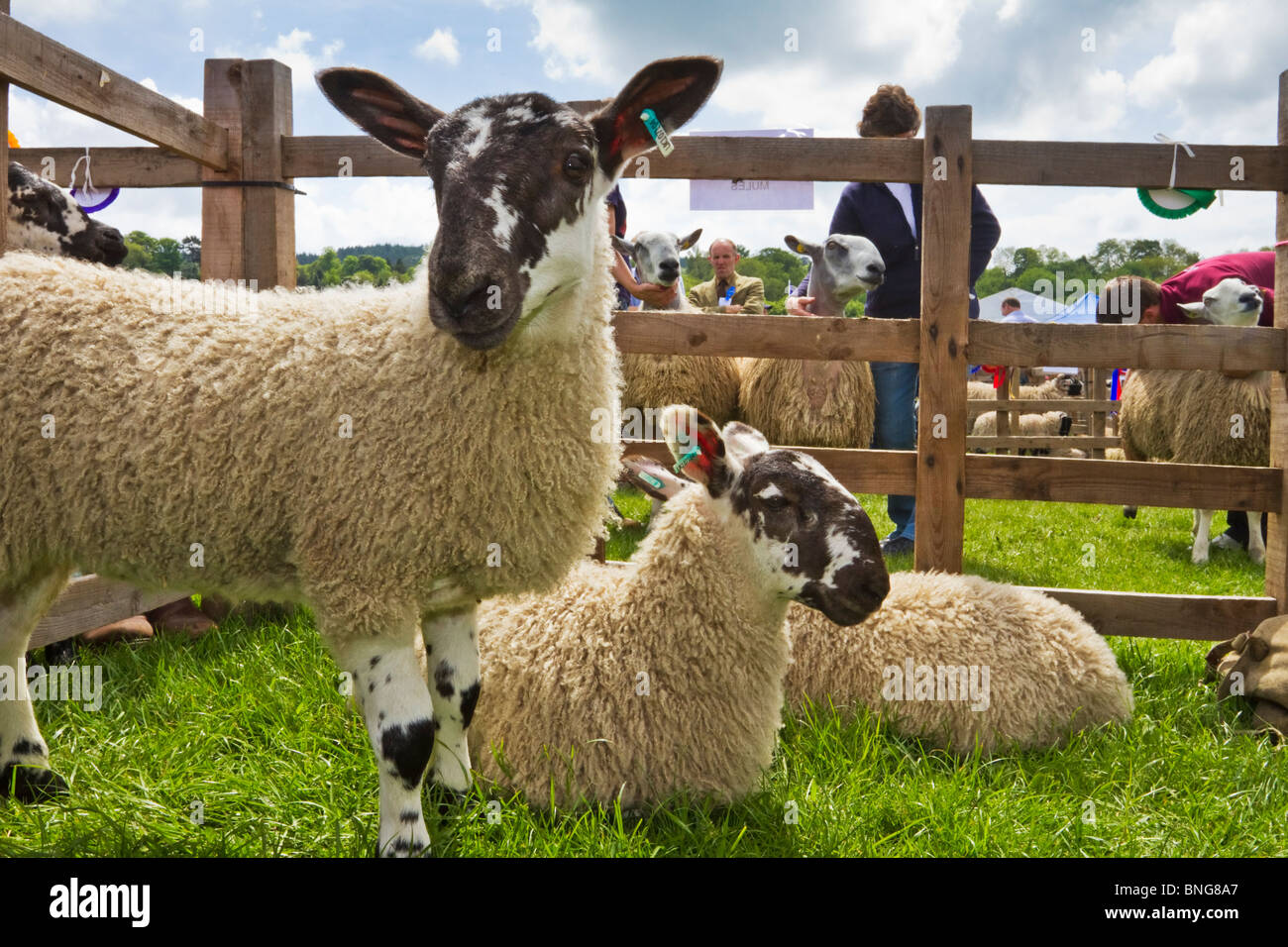 Cheviot lambs on display at the annual Northumberland County Show held in Corbridge each May, England - Stock Image