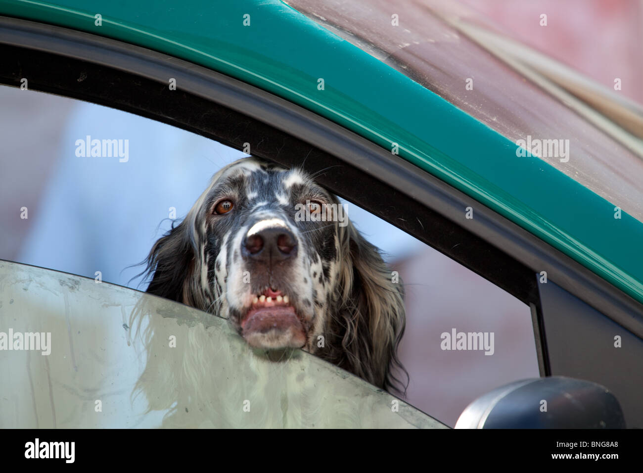 A dog left alone in a parked car looking out of a partially open window - Stock Image