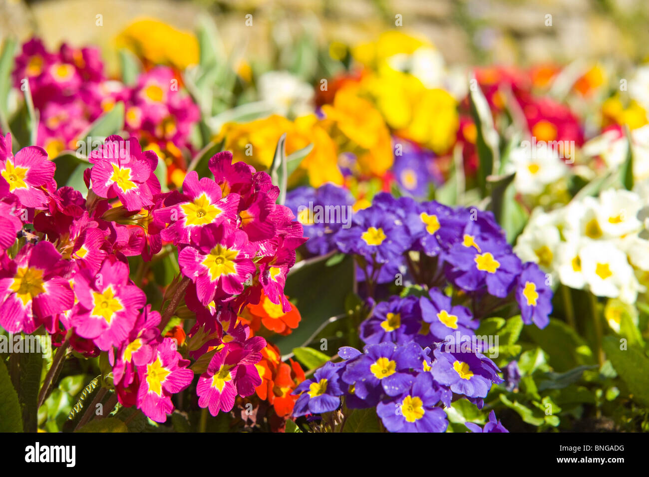 Spring bedding plants stock photos spring bedding plants stock horizontal close up of beautiful bright spring flowers primulas of various different colours in mightylinksfo