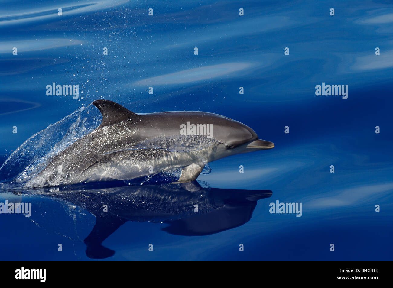 Jumping dolphin portrait image on Azores atlantic ocean - Stock Image