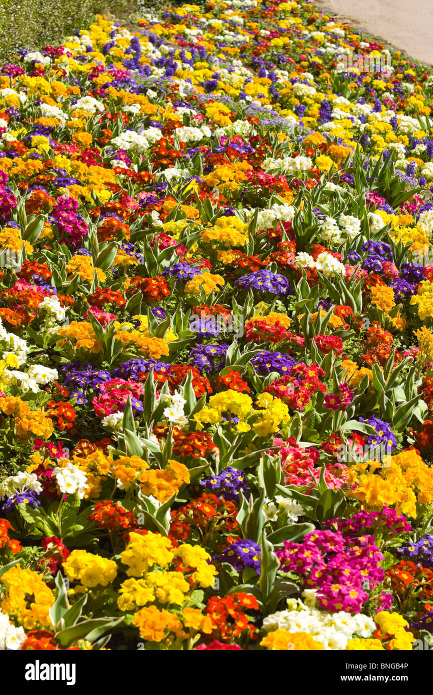 Vertical close up of beautiful bright spring flowers primulas of vertical close up of beautiful bright spring flowers primulas of various different colours in a flower bed mightylinksfo