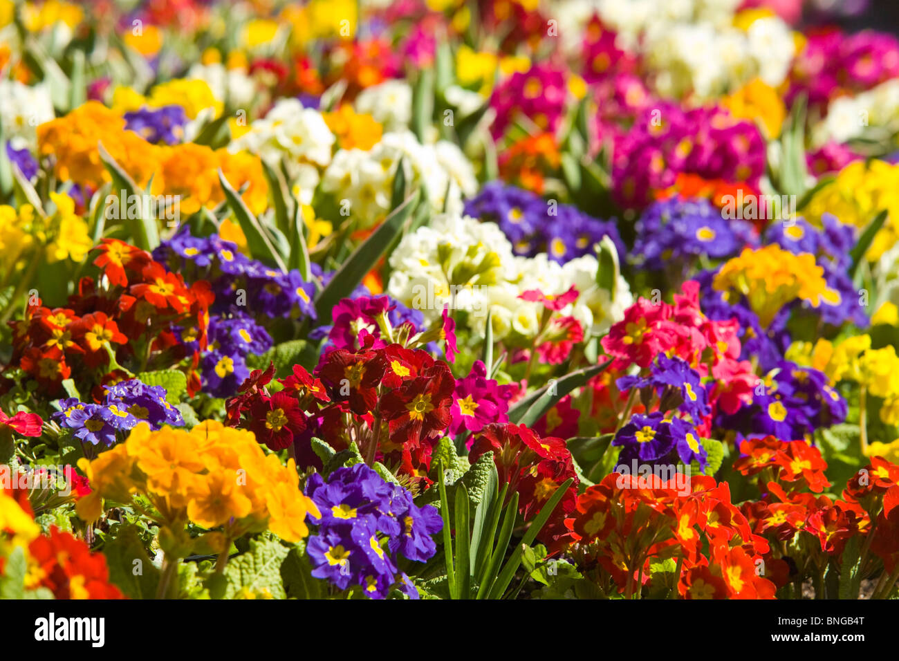 Horizontal Close Up Of Beautiful Bright Spring Flowers Primulas Of