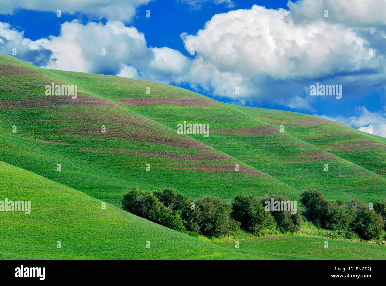 New spring wheat growth. The Palouse, near Colfax, Washington. - Stock Image