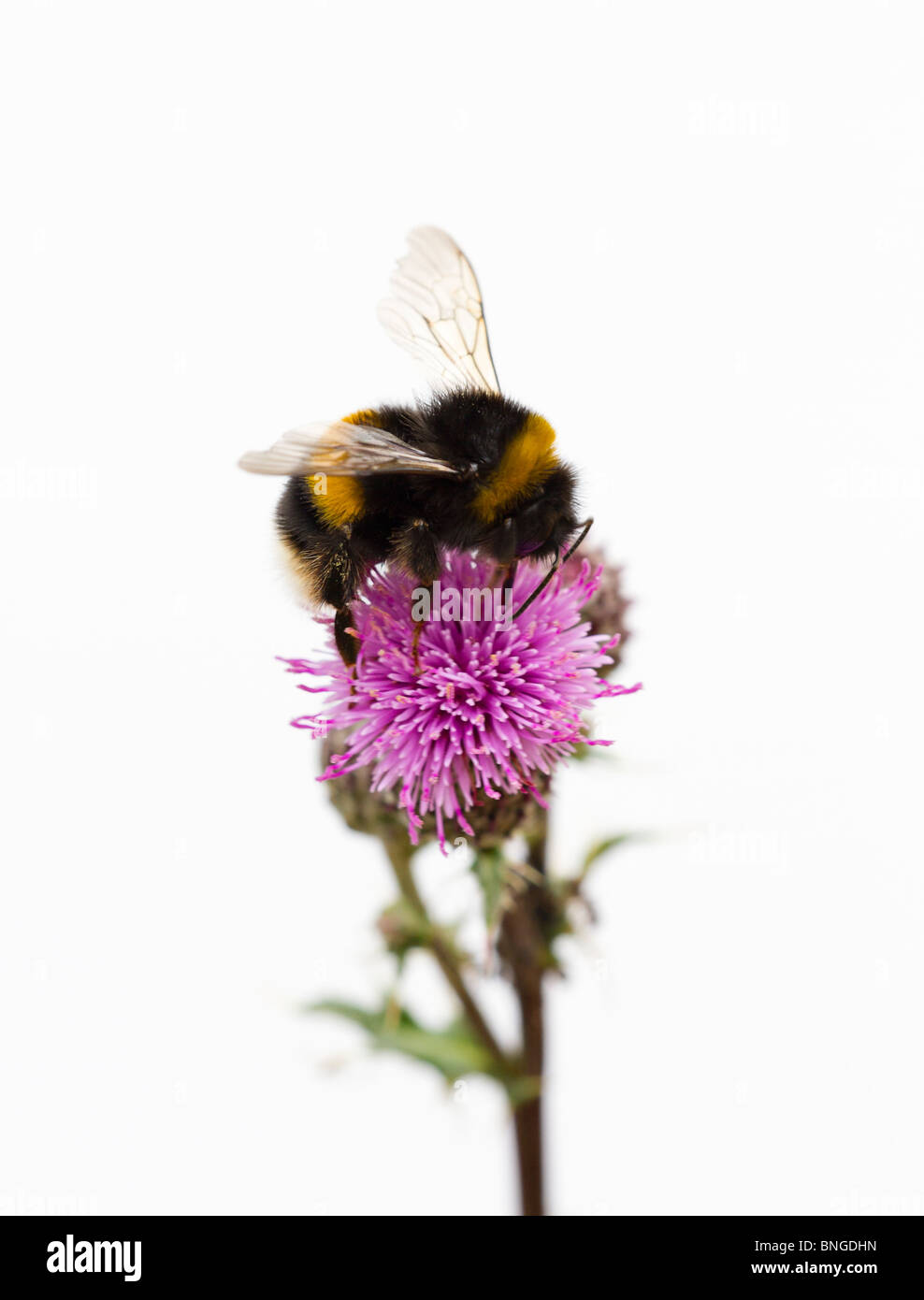 Bumble Bee on Thistle - Stock Image