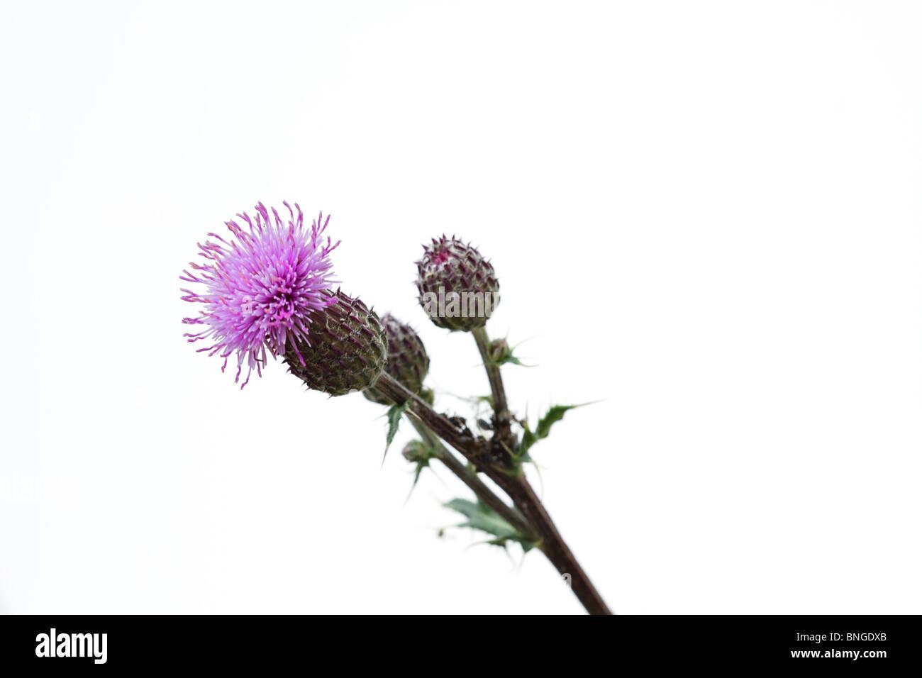 Wildflower, purple Thistle on white background - Stock Image