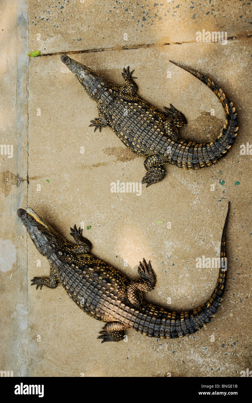 Two juvenile crocodiles lying next to each other. - Stock Image