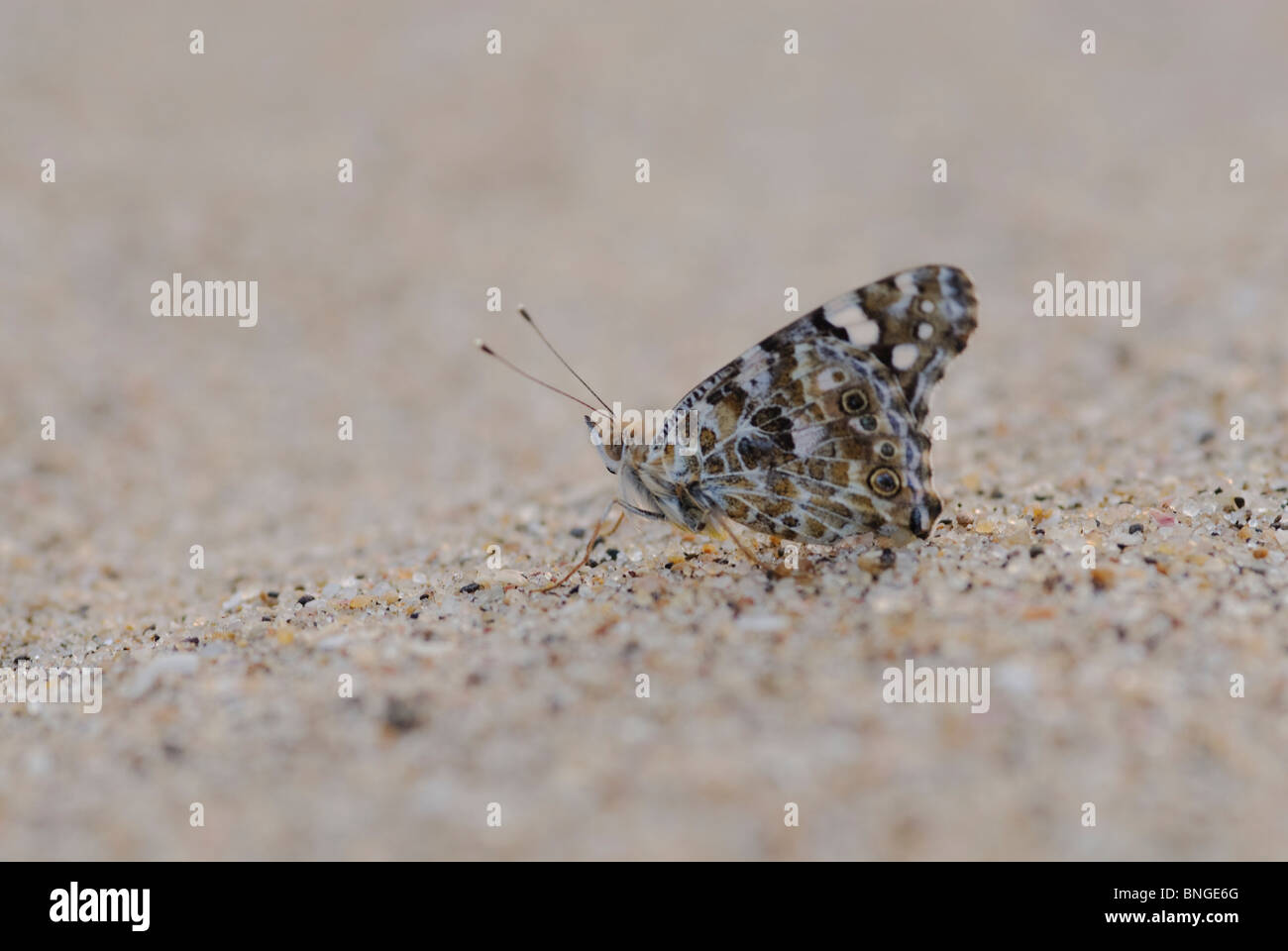 Close-up low angle of Elfin Skipper( Sarangesa motozi) on sand. They're easily identifiable by their clear spots Stock Photo