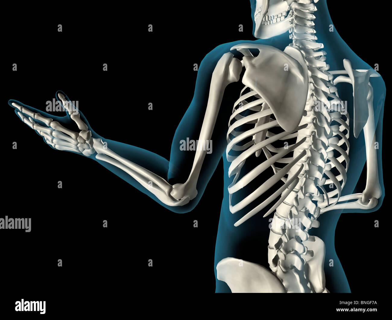 X-ray view of elbow bones in a see-through arm with hand and spinal ...