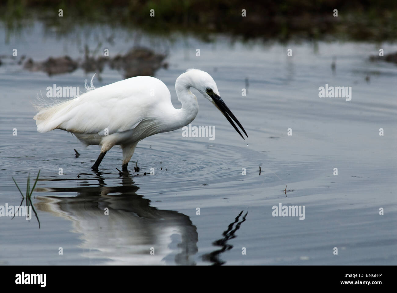 Little Egret catching fish in the shallows of Lake Jozini, Phongolo River, Kwazulu-Natal, South Africa. Stock Photo