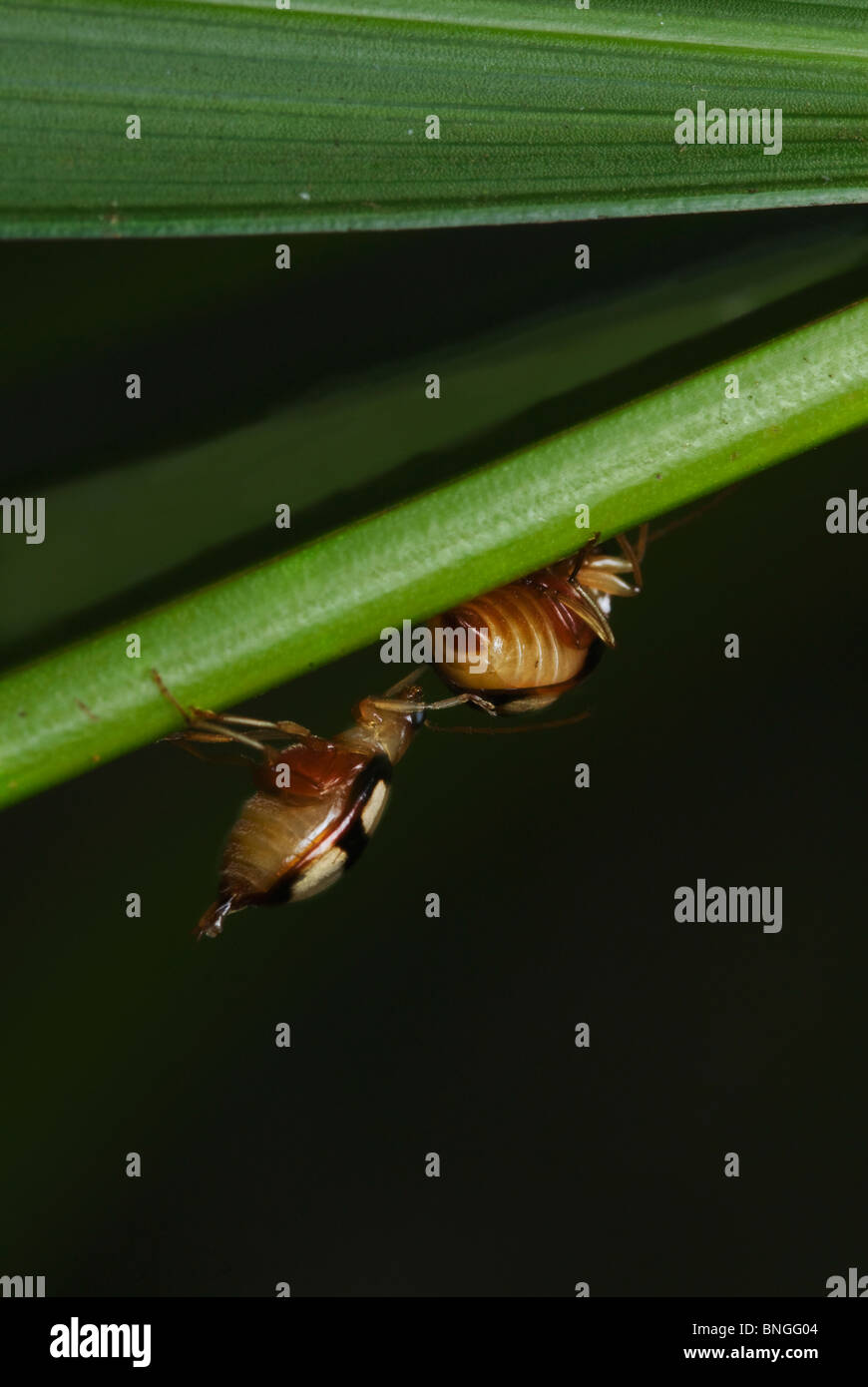 Low Angle View of Small-Eyed Leaf Beetle crawling up a diagonal leaf. Pongola, Kwazulu Natal, South Africa - Stock Image
