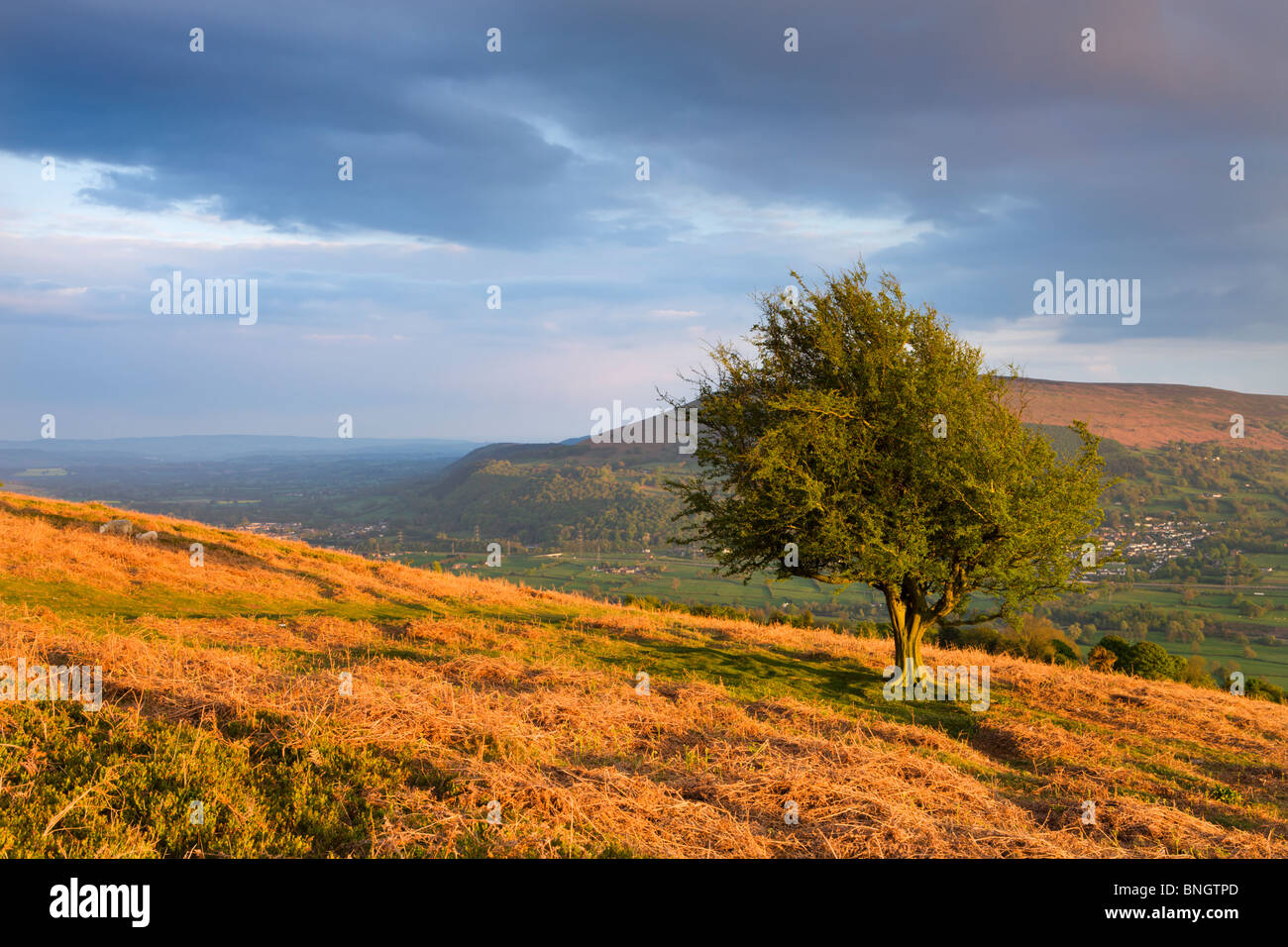 Hawthorn tree and Usk Valley near Abergavenny from the slopes of Sugar Loaf mountain, Brecon Beacons National Park, - Stock Image