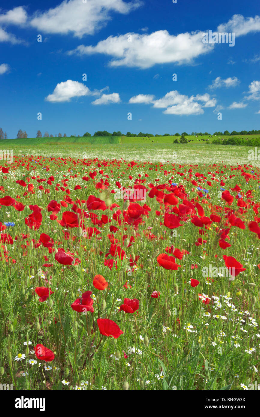 Poppies field with blue sky in the background, Poland - Stock Image