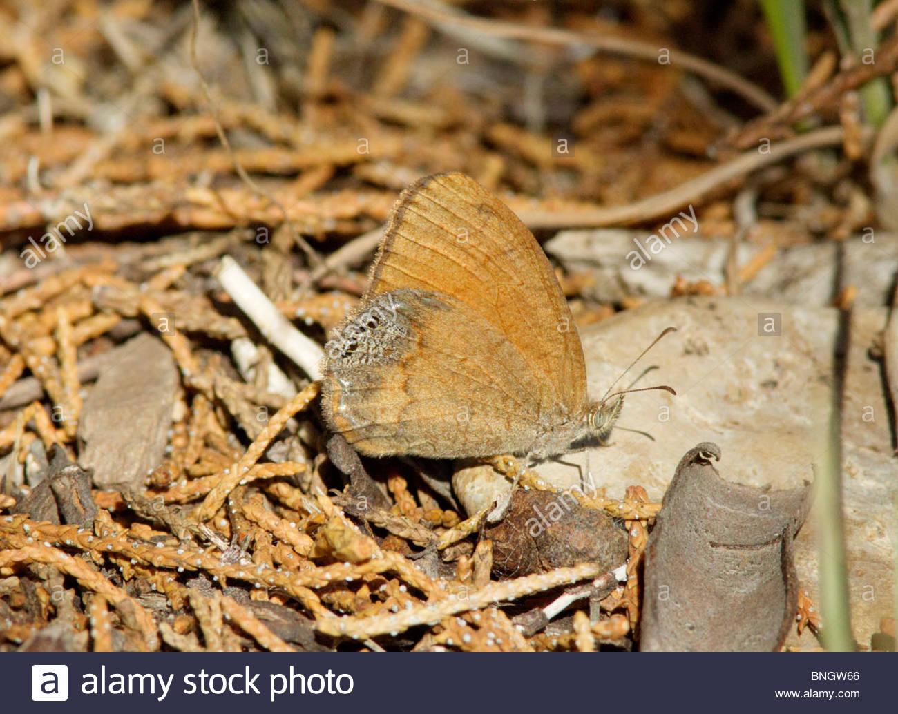 Canyonland Satyr Cyllopsis pertepida Butterfly Arizona - Stock Image