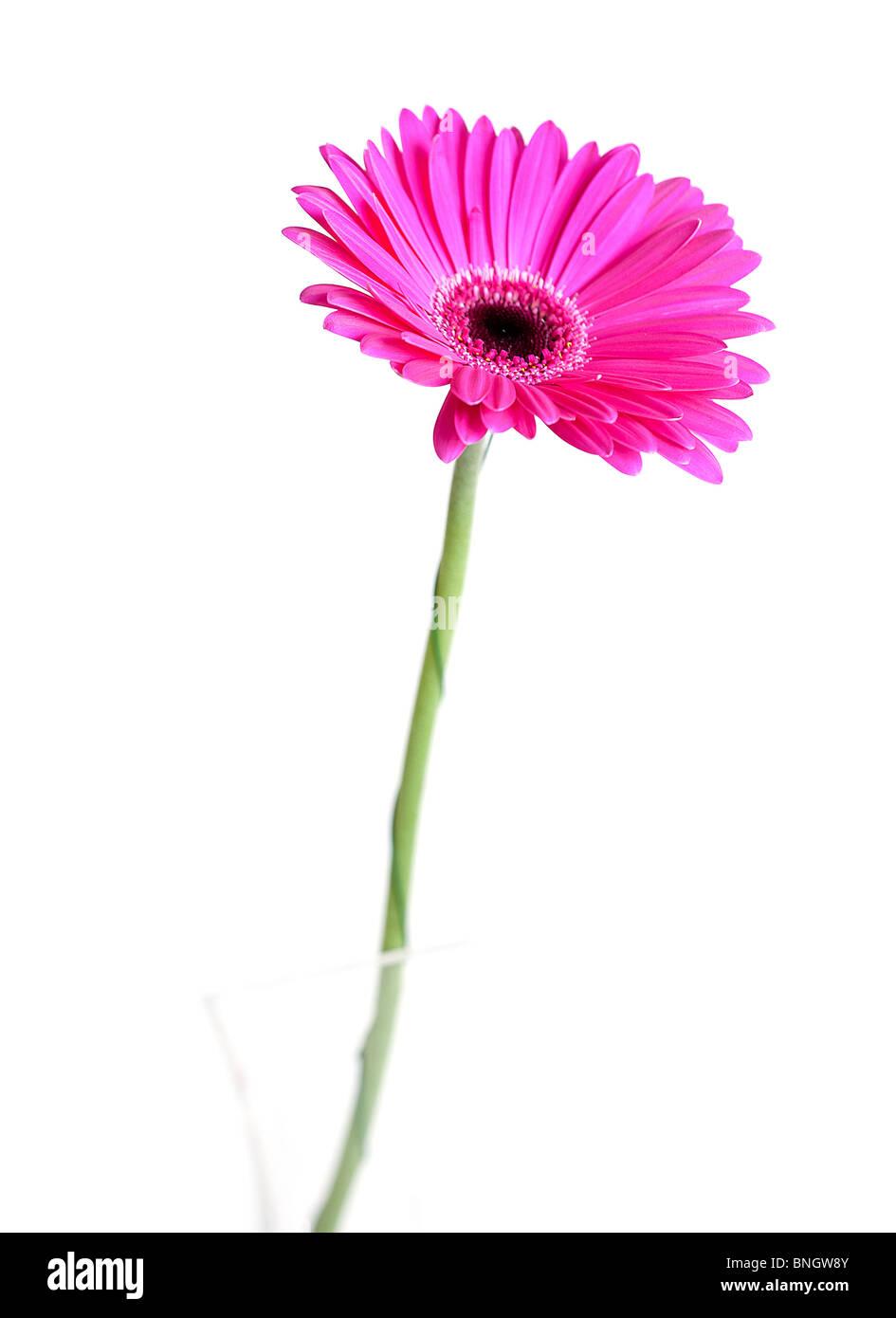 close up of a beautiful gerbera flower Stock Photo