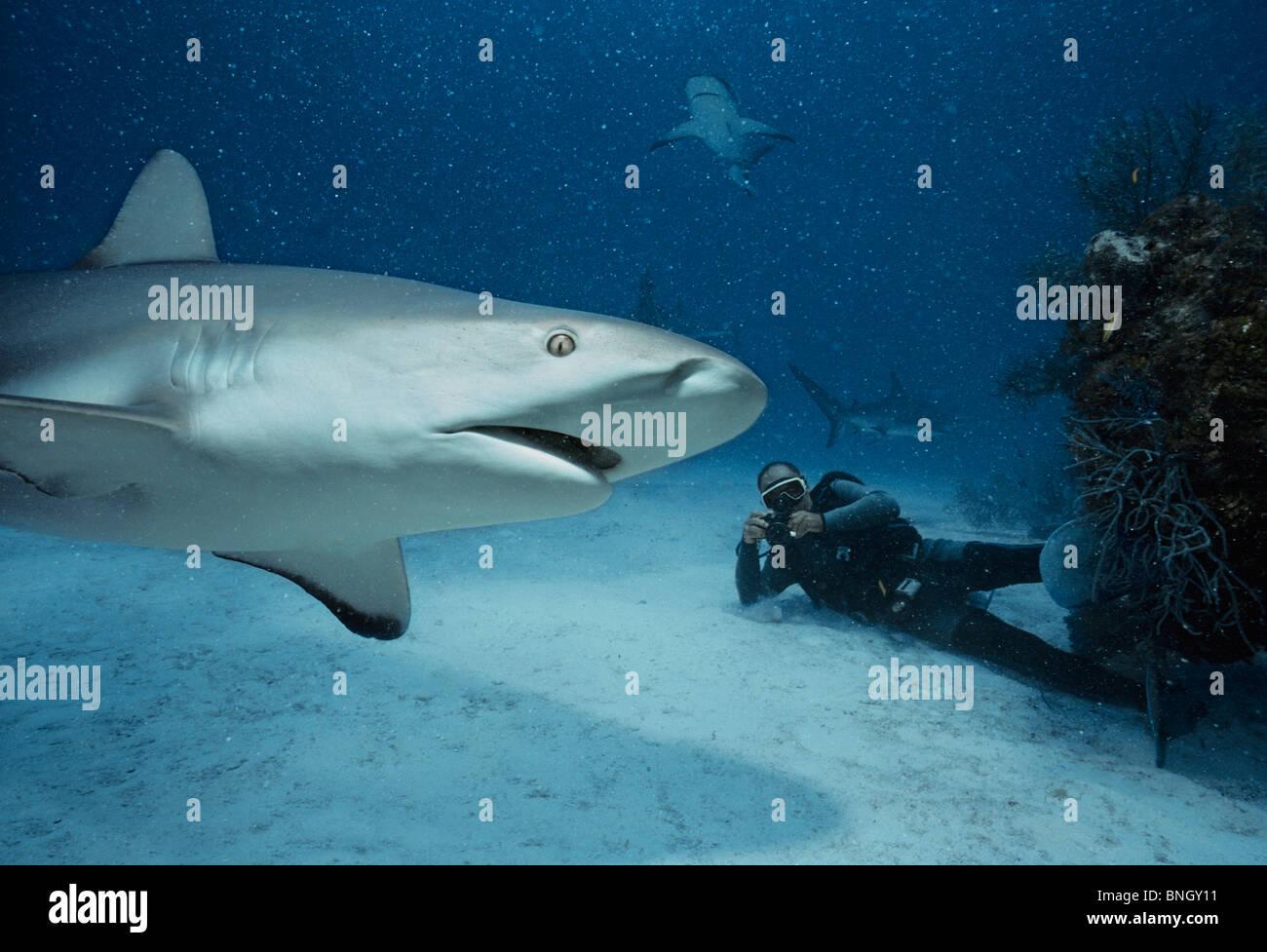 Diver photographs Caribbean Reef Sharks (Carcharhinus perezi), Bahamas - Caribbean Sea. - Stock Image