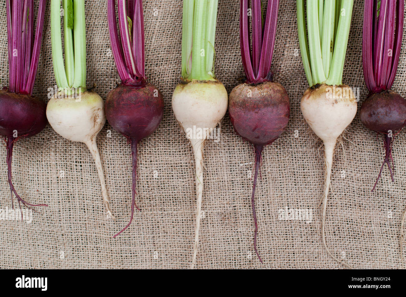 Beta vulgaris . Red and white beetroot on hessian - Stock Image