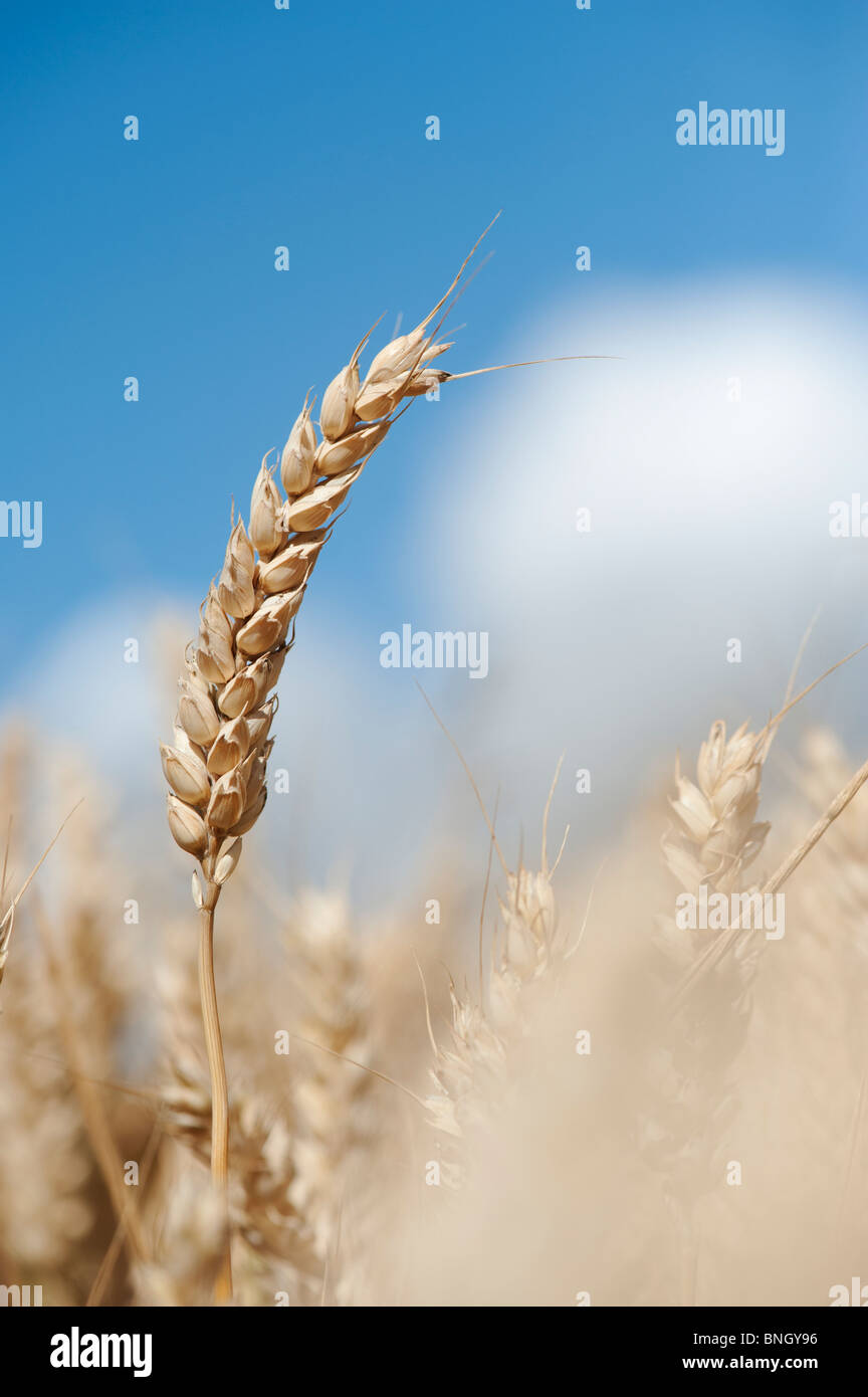 Triticum aestivum. Wheat in a field in the English countryside Stock Photo