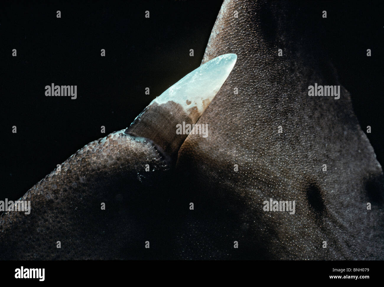 Dorsal fin with horn spine - California Hornshark (Heterodontus francisci), Channel Islands, California (USA) - - Stock Image