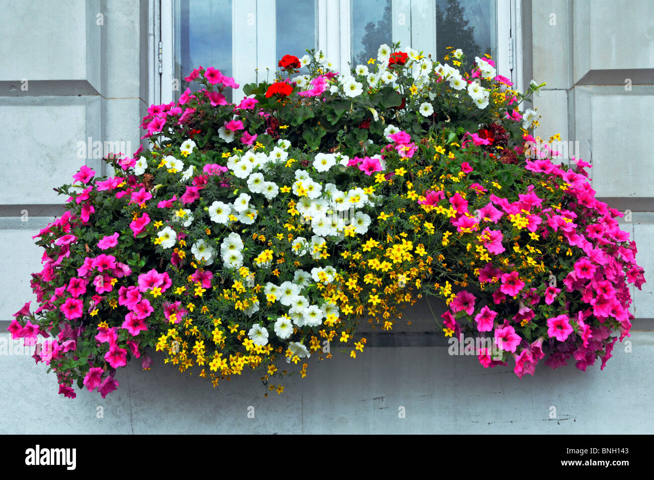 Close up of colourful display of Petunias flowers in bloom in window box of office building beside busy London road - Stock Image