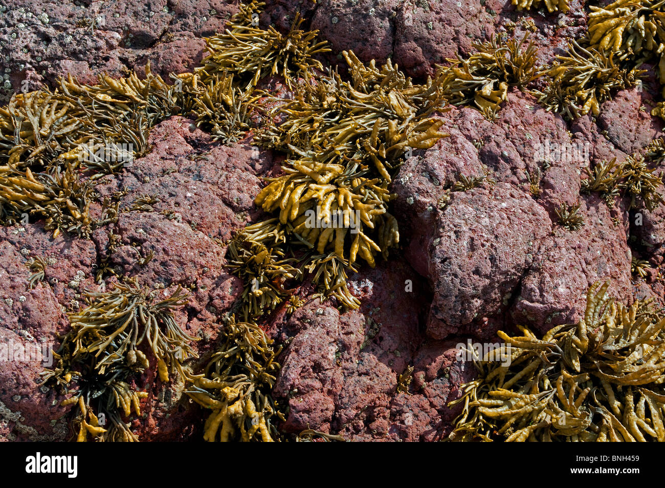 red sandstone rock covered with seaweed at cawsand in cornwall, uk - Stock Image