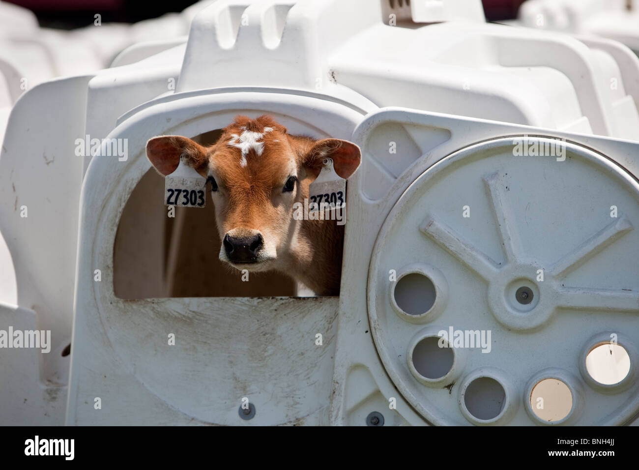 Young calf, weaner housing, Eco Dairy. - Stock Image