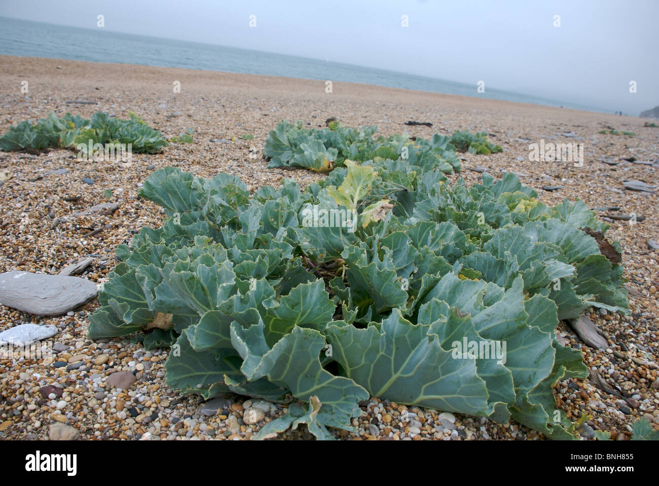 sea kale cabbage crambe maritima plant slapton sands beach stock photo 30497745 alamy. Black Bedroom Furniture Sets. Home Design Ideas