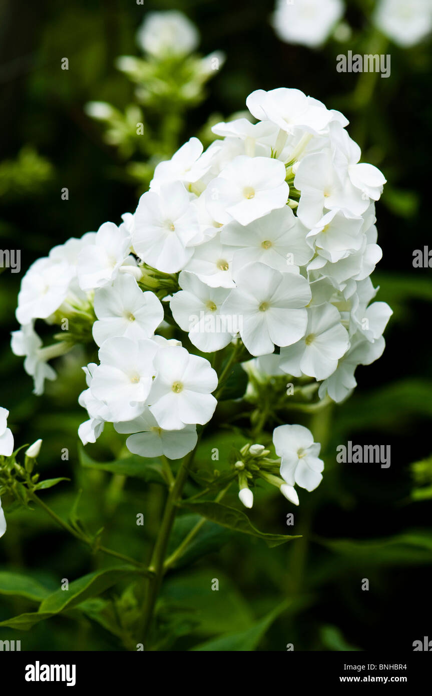 Phlox maculata 'Miss Lingard' in flower at Chelsea Physic Garden, London - Stock Image
