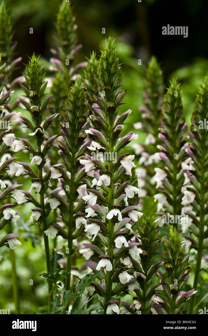 Acanthus Spinosus Stock Photos Acanthus Spinosus Stock Images Alamy