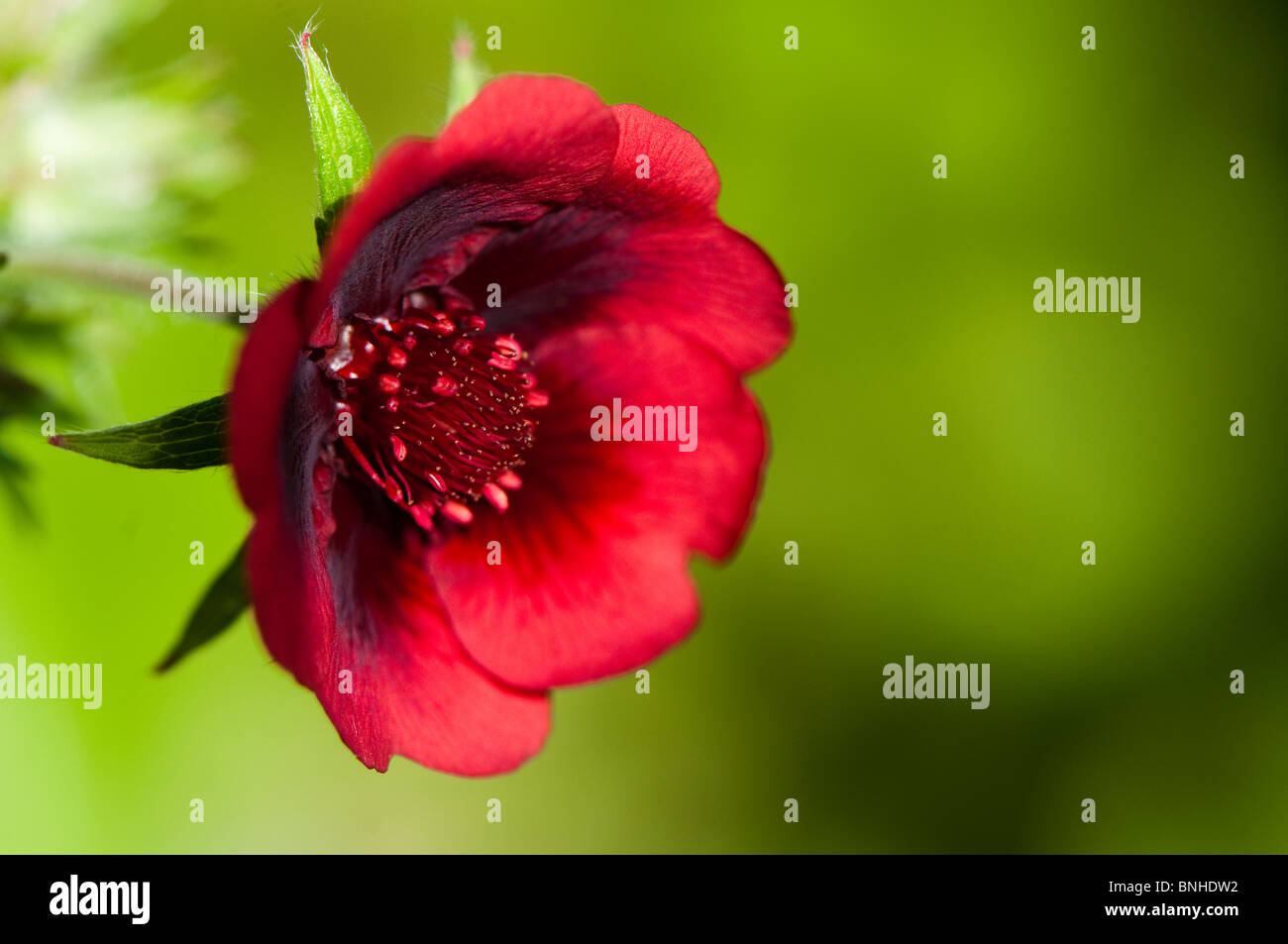 Close up of a Potentilla thurberi 'Monarch's Velvet' flower Stock Photo