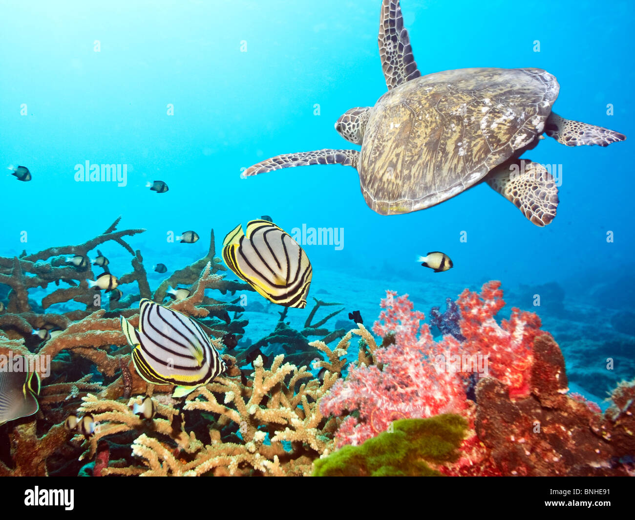 Underwater landscape with couple of Butterflyfishes and turtle - Stock Image