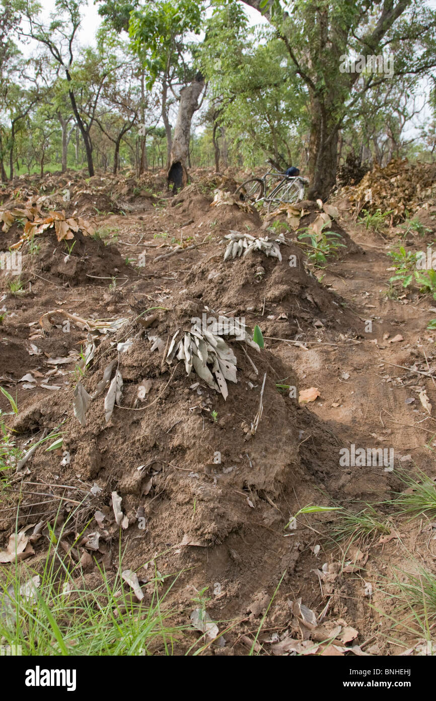 Yam cultivation in the Gonja triangle, Damango district, Ghana. - Stock Image
