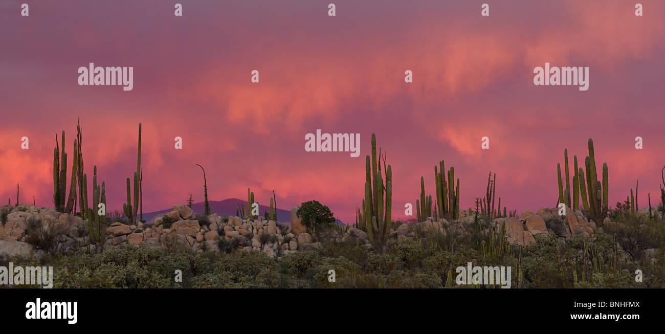 Mexico Catavinia Baja California Near Catavinia Boojum Tree Fouquieria Columnaris Cirio Plant Plants Nature Vegetation - Stock Image