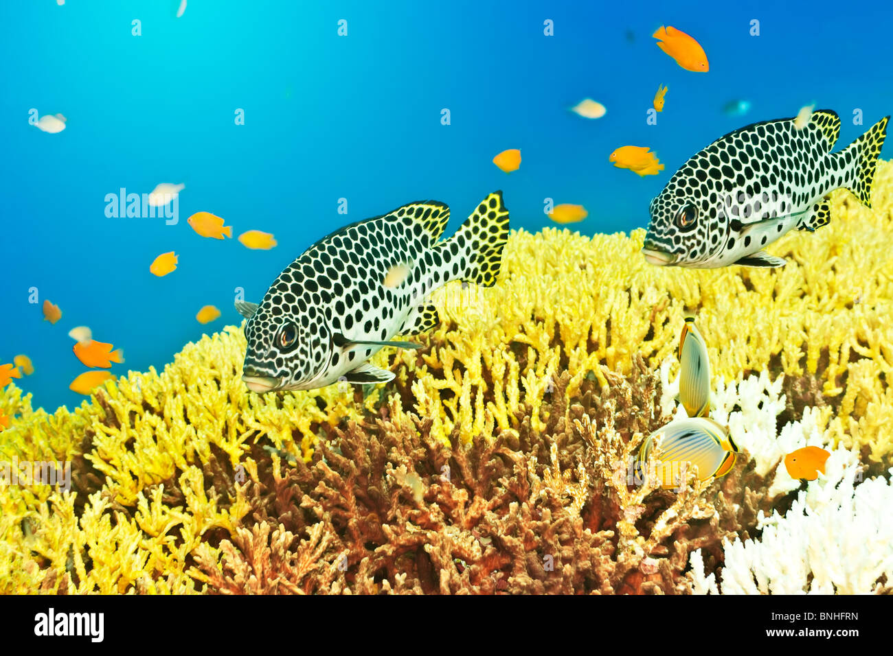 Underwater landscape with couple of Sweetlips - Stock Image