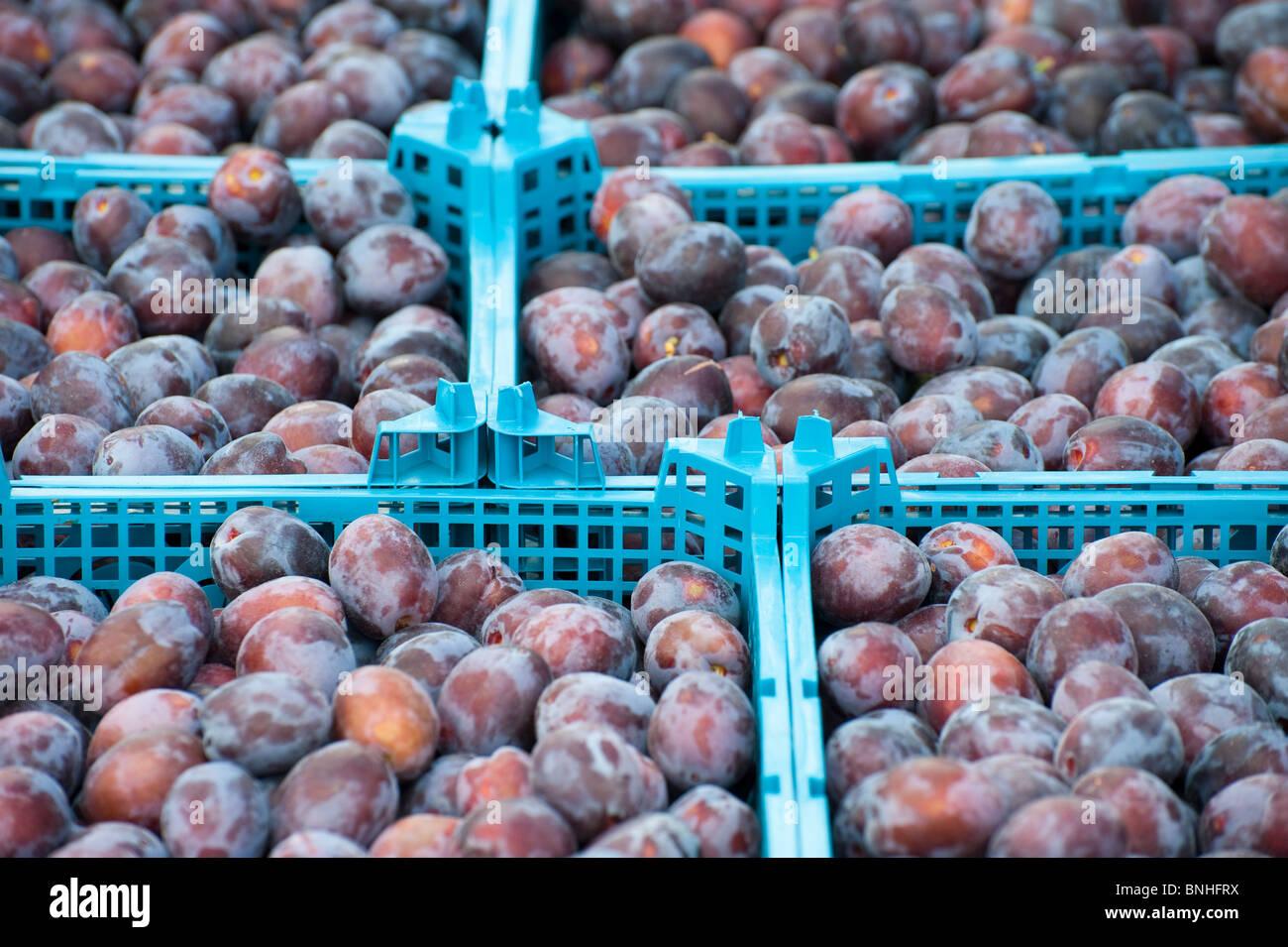 Plum harvest Cambridgeshire Stock Photo