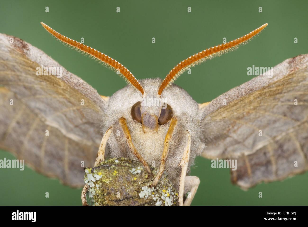 Poplar Hawk Moth Laothoe populi Essex, UK IN000941 - Stock Image