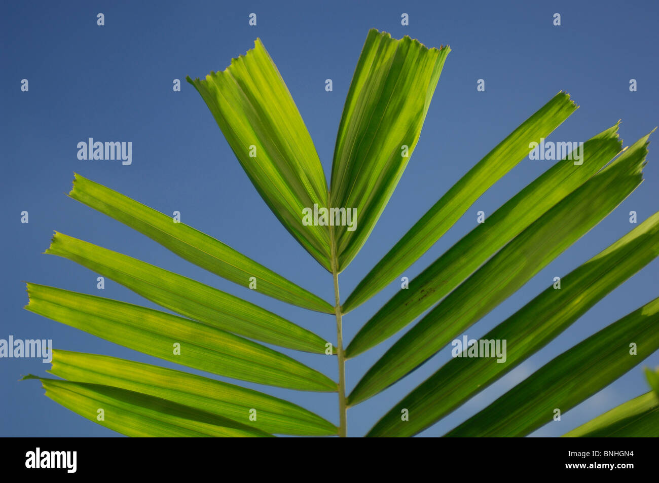 Caribbean Vauxhall Barbados Almond Beach Club & Spa Hotel West Coast Palm Palms Leaves Leaf Leafs Detail Close - Stock Image
