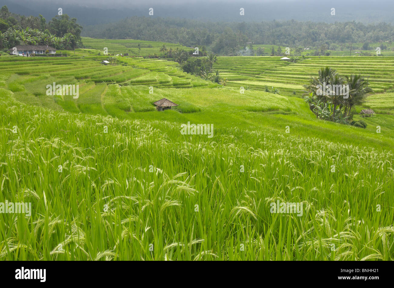 Bali Asia Indonesia travel Location Terrace Fields near Batukau Reserve rice fields agriculture paddy fields terraces - Stock Image