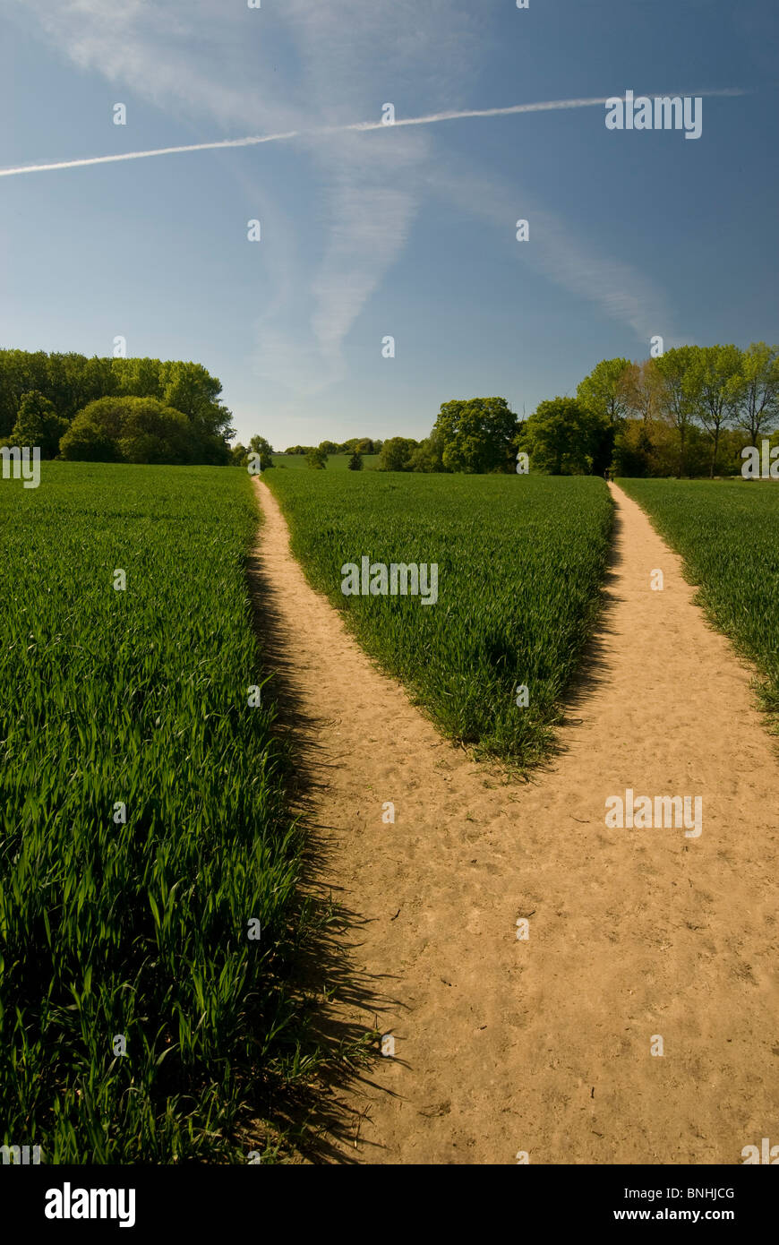 Two paths through Wheat field in  English countryside  near banks of river Orwell, close to Pin Mill, Suffolk. - Stock Image