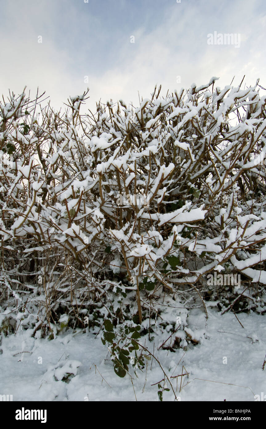 Hedge covered in snow, Kent, England. - Stock Image