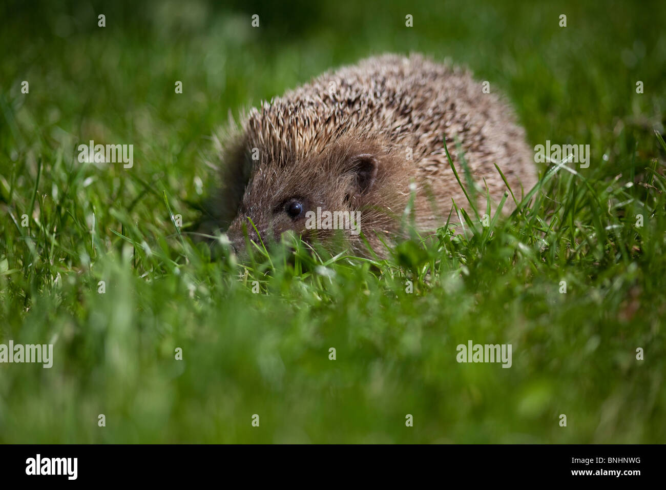 European Hedgehog (Erinaceinae) close up in lush grass facing camera taken under controlled conditions - Stock Image
