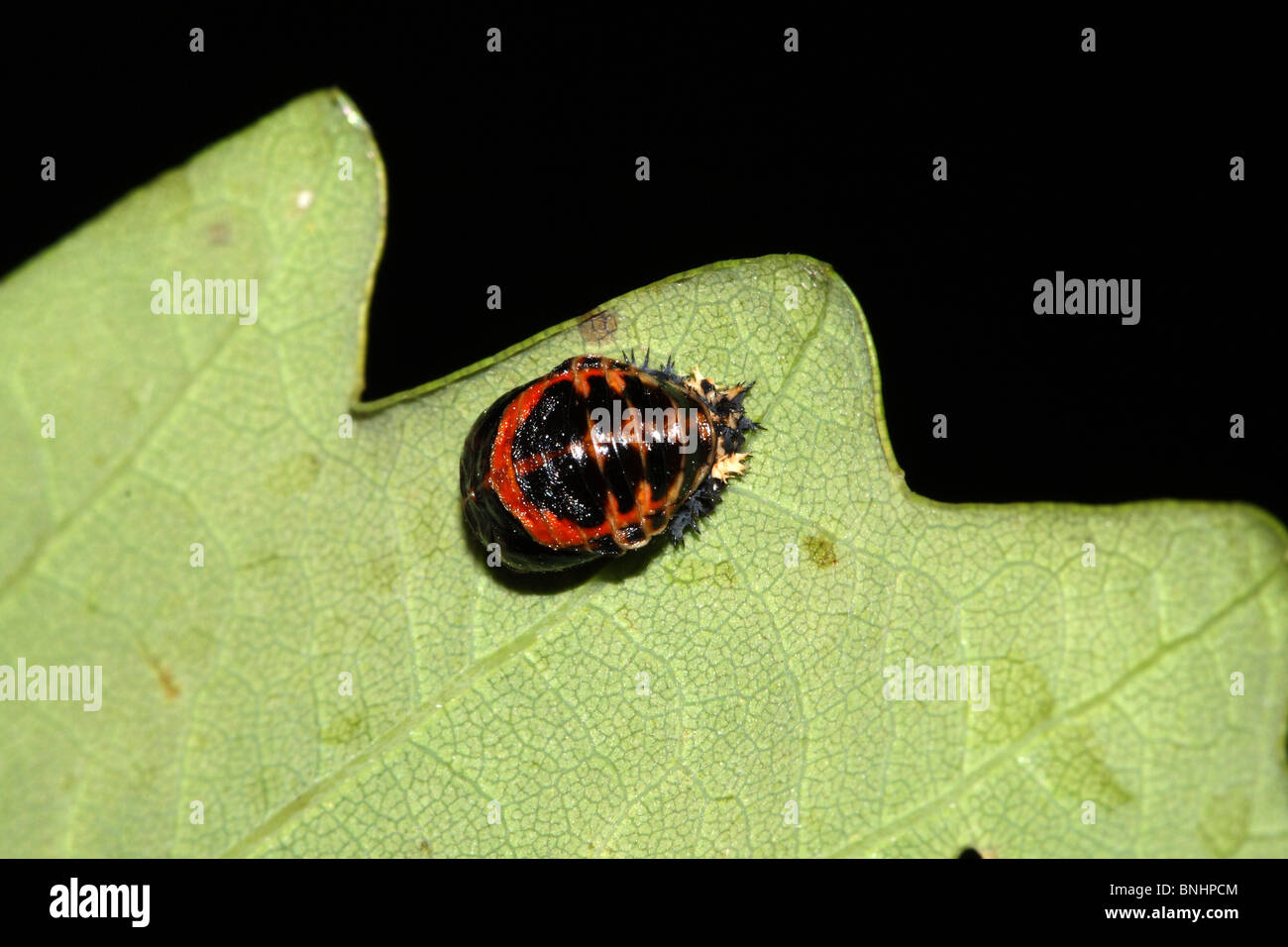 Harlequinn Asian Ladybird Larvae - Stock Image