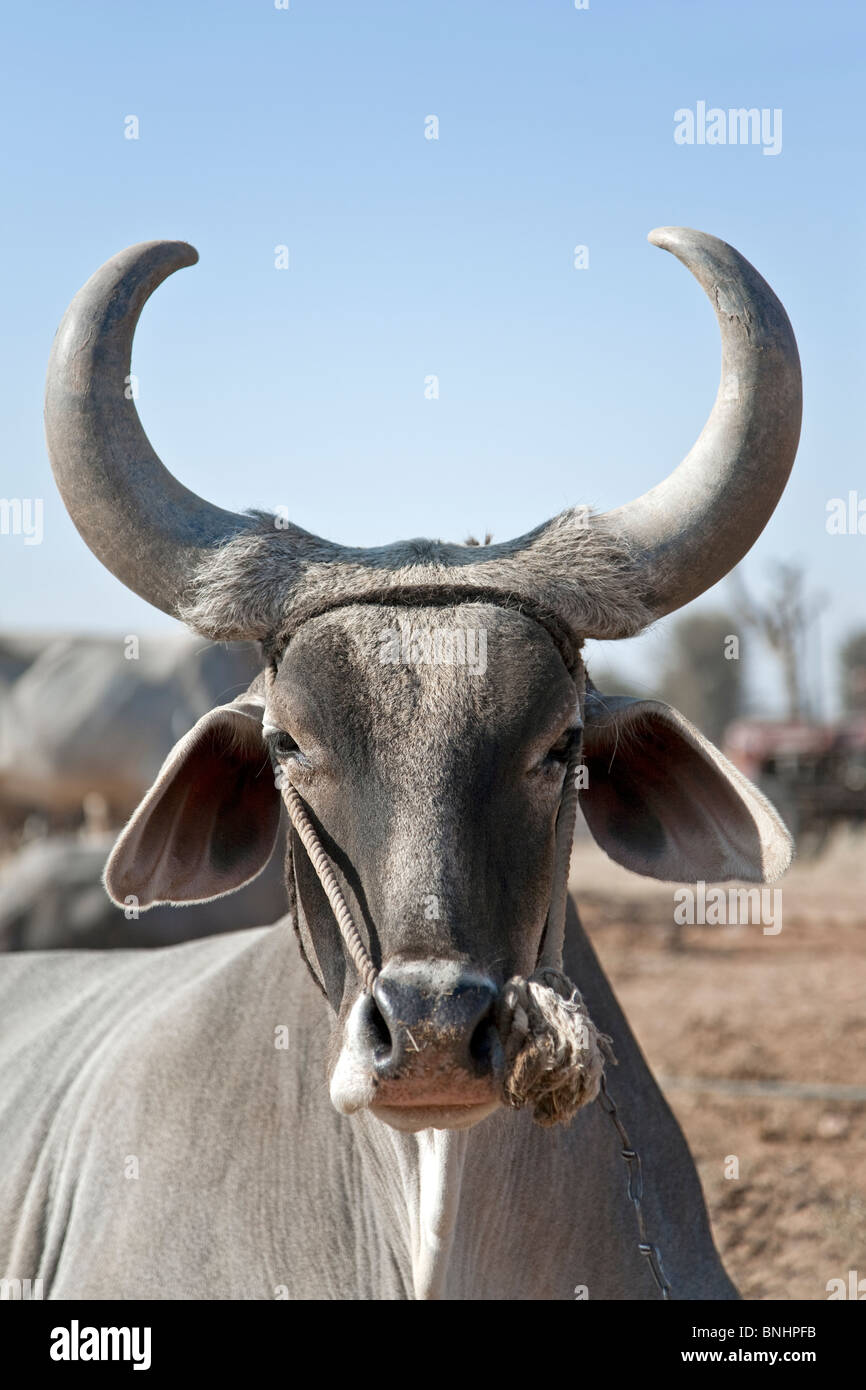 Ox. Nagaur cattle fair. Rajasthan. India - Stock Image