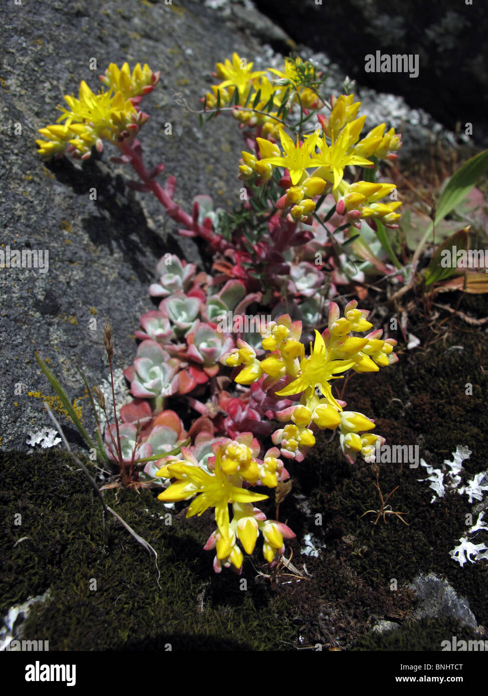 Succulent Sedum Plant In Yellow Flowers Growing On A Rock Victoria