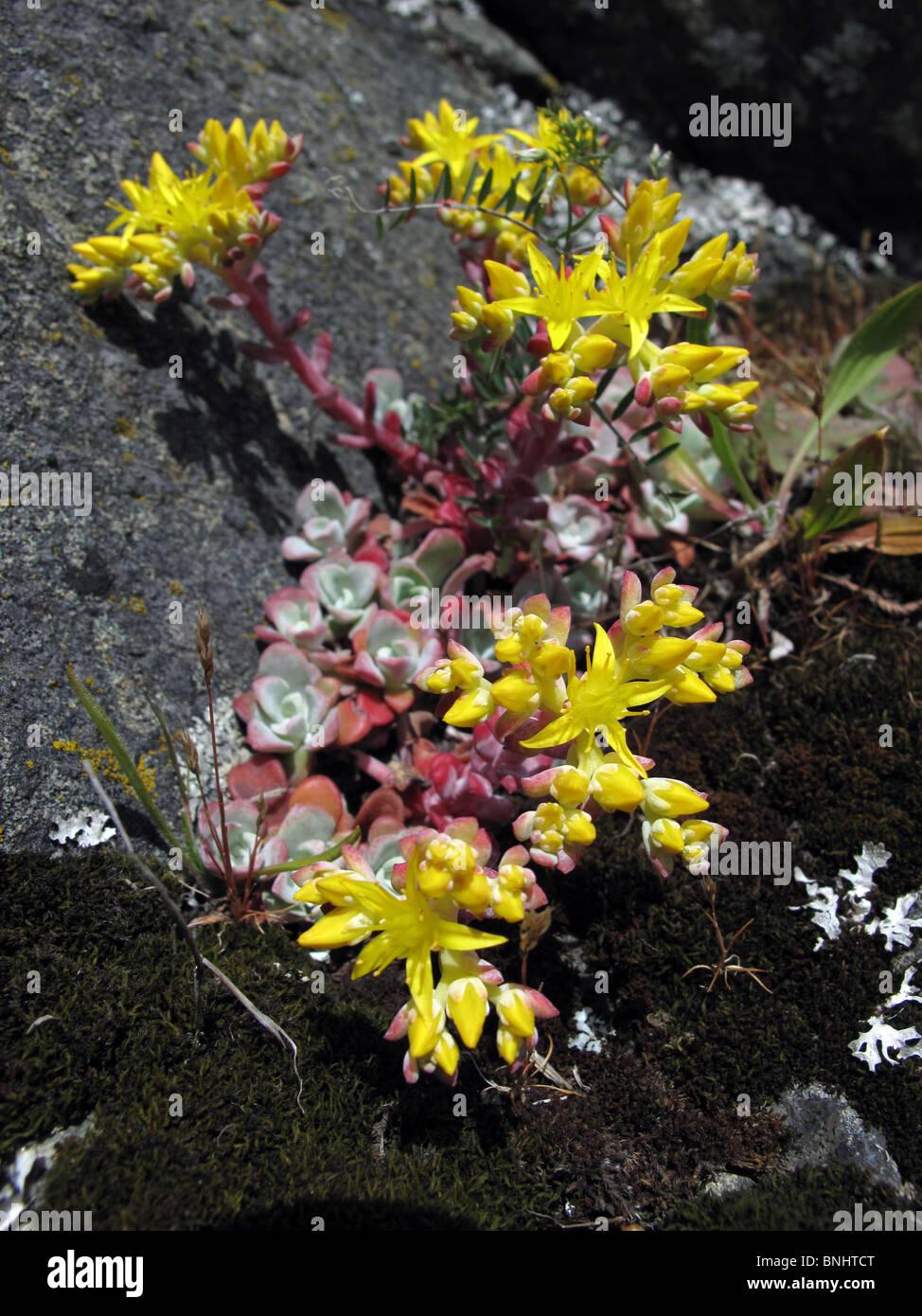 Sedum Succulent Garden Plant Yellow Stock Photos Sedum Succulent