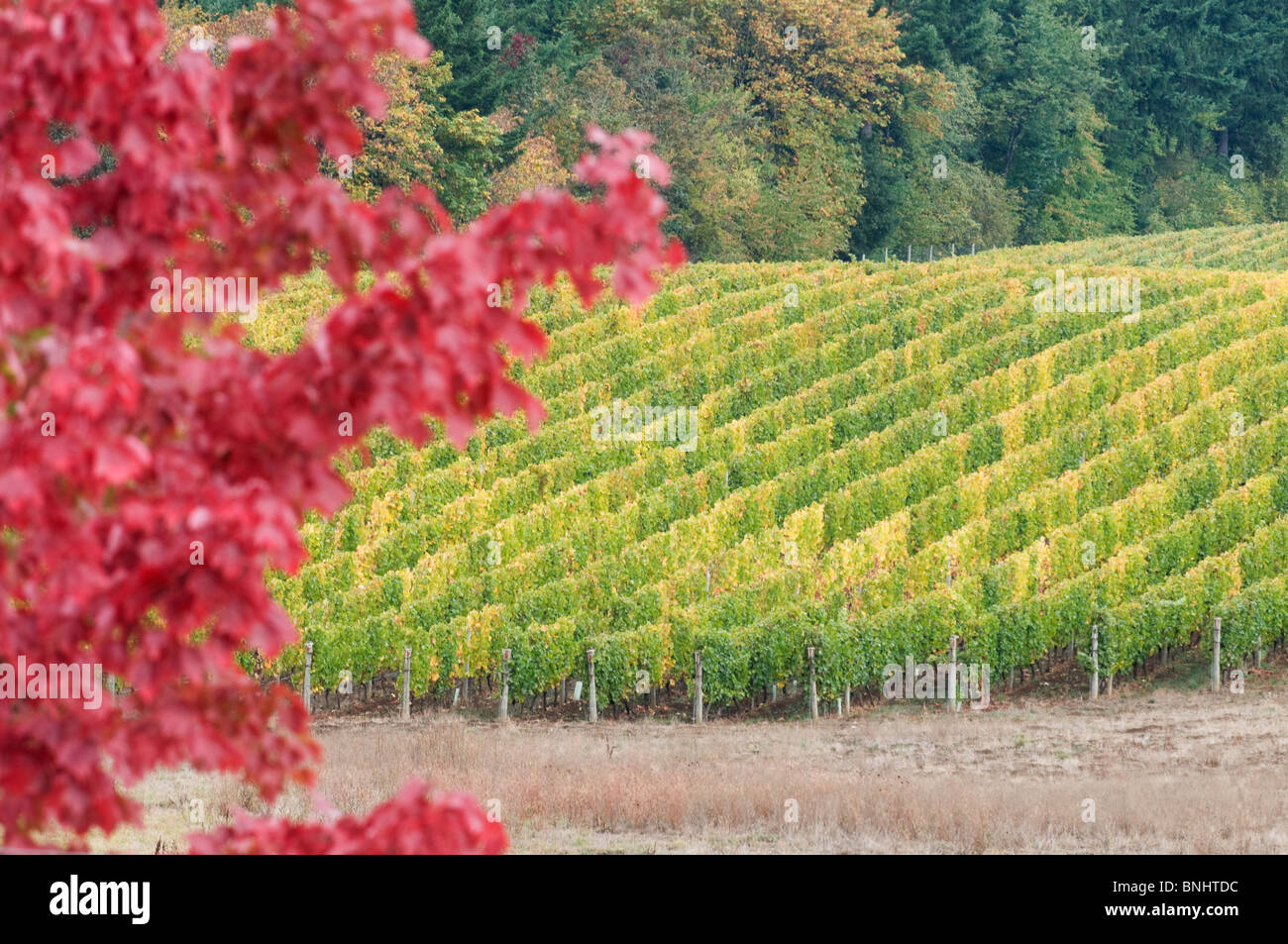 Willamette Valley Vineyards in the Fall; McMinnville; Oregon - Stock Image