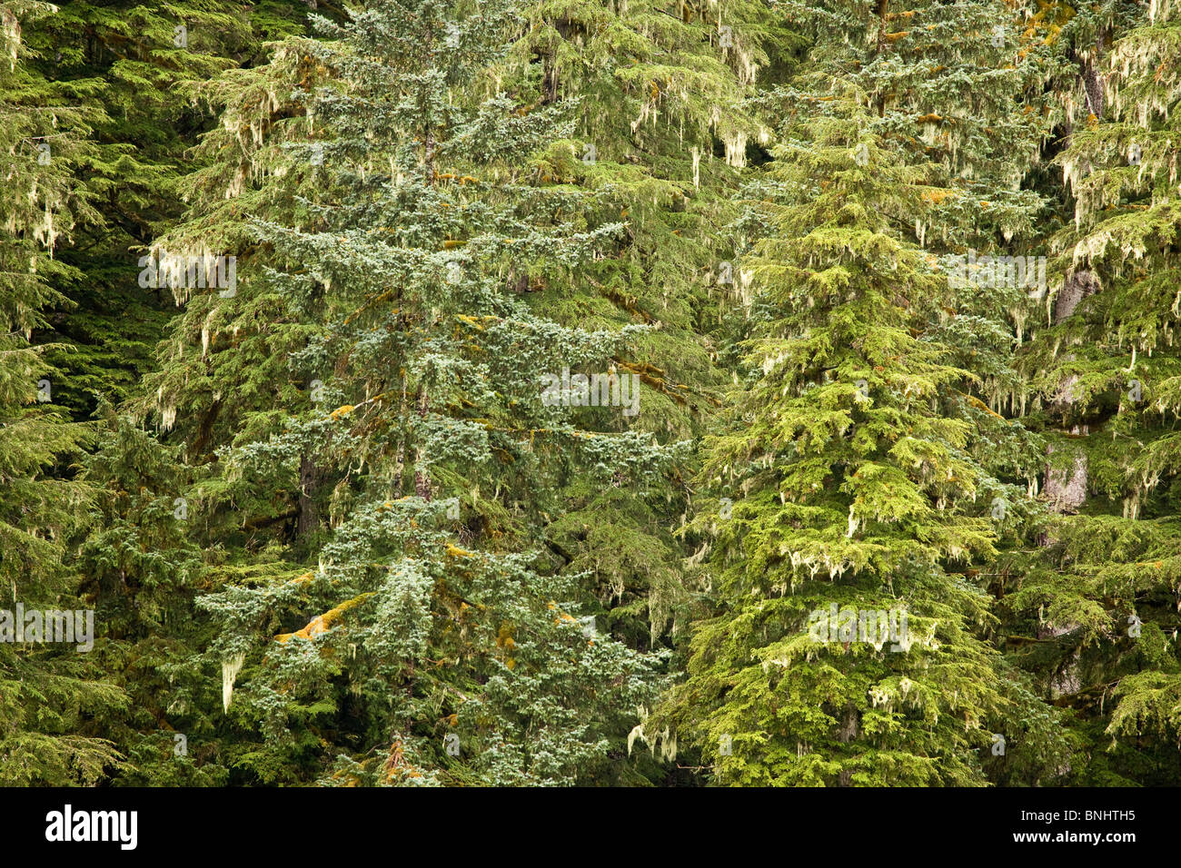 USA; Alaska; Pack Creek; Forest; conifer forest - Stock Image