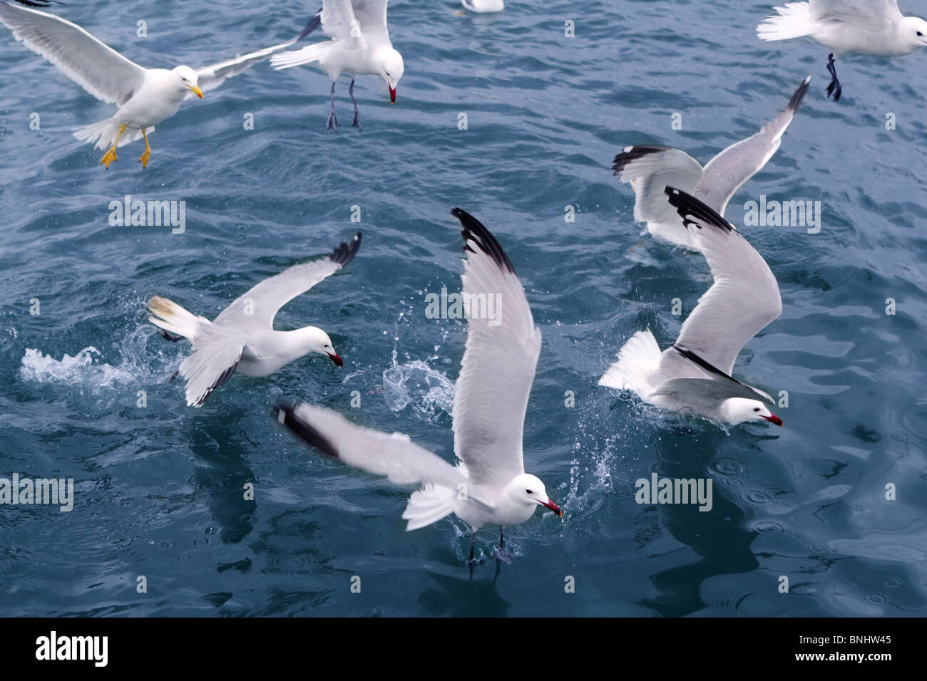 active sea gulls seagulls over blue sea ocean birds - Stock Image