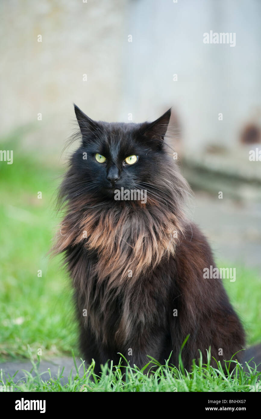 Tabby Cat Balck Long Hair