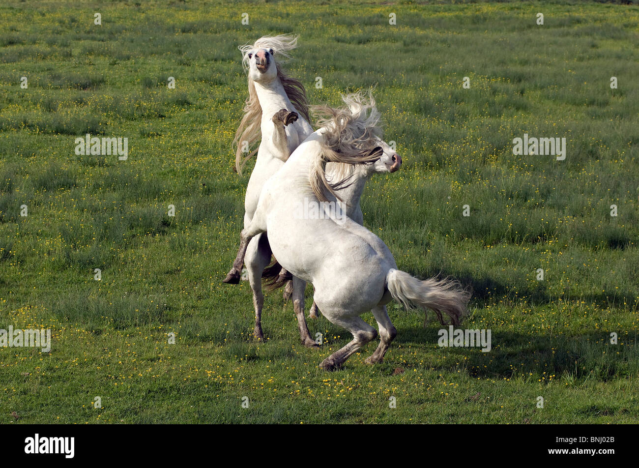 Pura Raza Espanola PRE Pure Race Espagnole Spanish breed fighting fight Animal Animals two horses horse - Stock Image