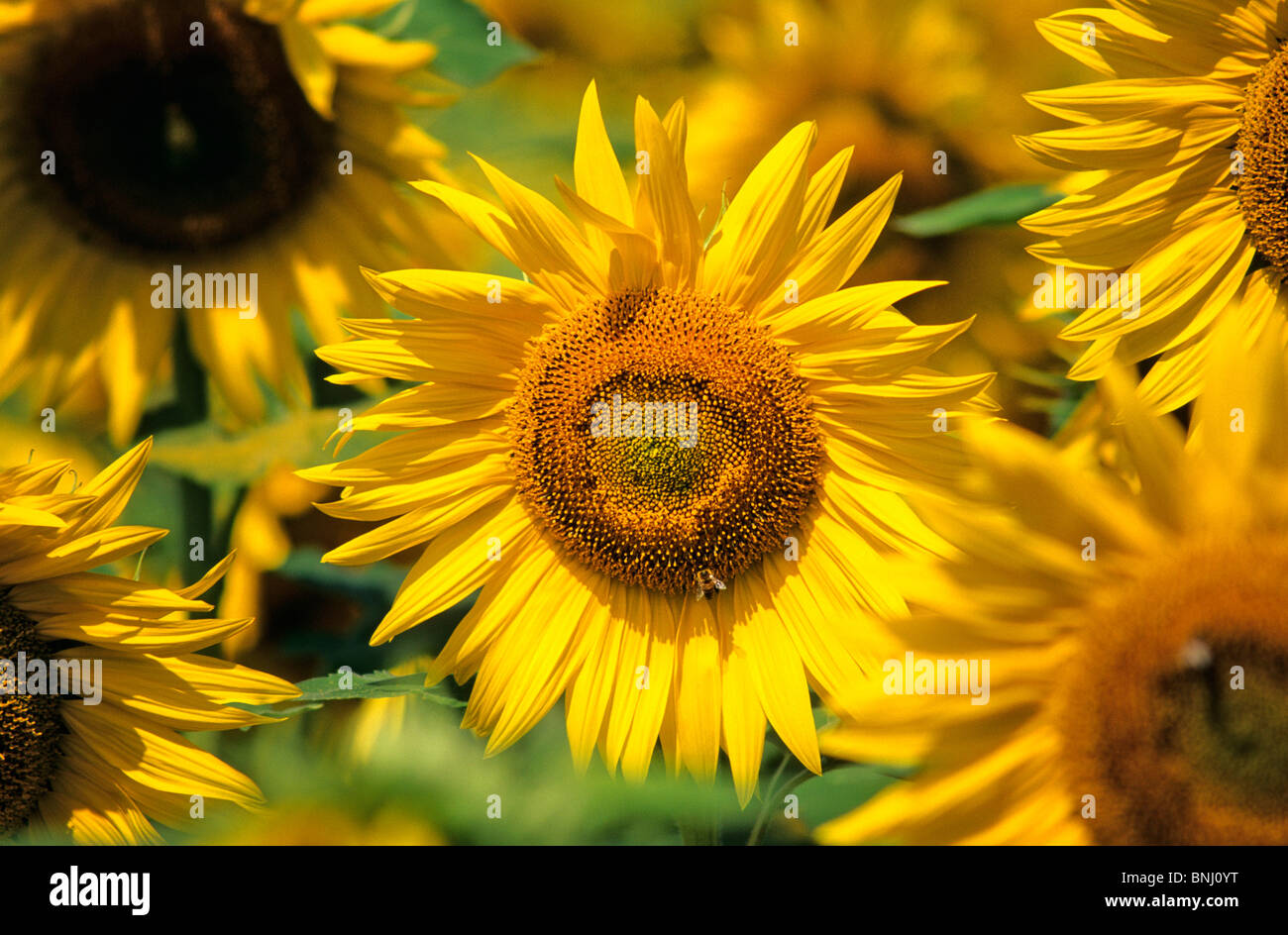 Agriculture yellow sunflowers draft plan plant Bläte - Stock Image